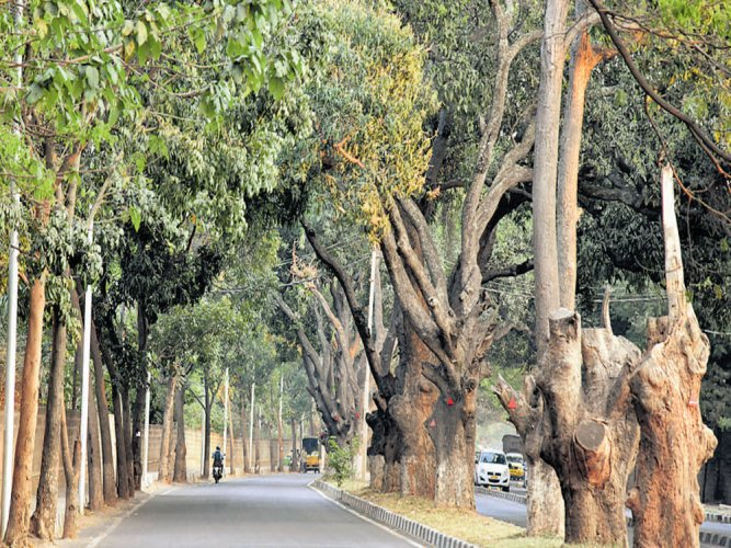 BBMP firm on axing trees, says unhappy lot can file objections