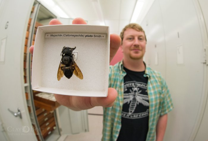 Bee expert Eli Wyman at the American Museum of Natural History with a specimen of Wallace's Giant Bee © Clay Bolt / claybolt.com.