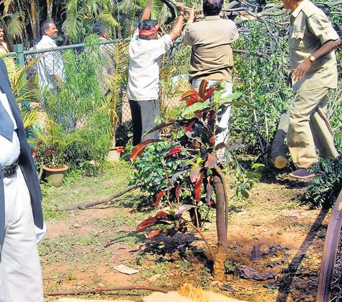 Sandalwood tree smuggled out of Lalbagh gardens