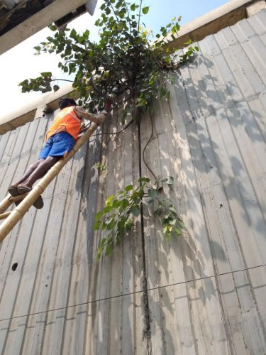 The BBMP workers remove invasive plants from all the flyovers in Mahadevapura and KR Puram. Special arrangement