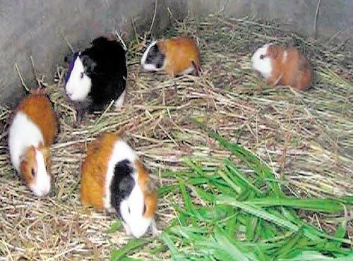 Guinea pigs keep Tamil Nadu farmers' cash registers ringing   Deccan