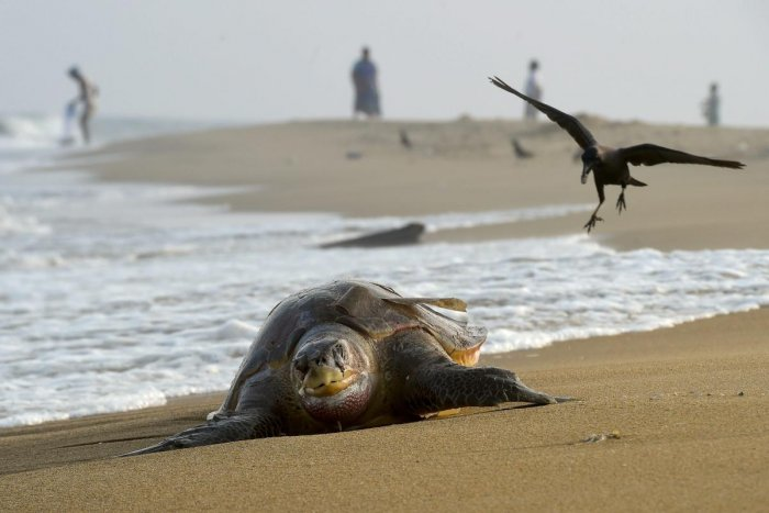 A 600-metre net barricade has been set up on the beach to ensure safety of the turtles. (File Photo)