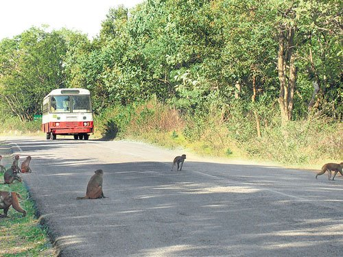 Primates of Narsapur forest make the highway famous