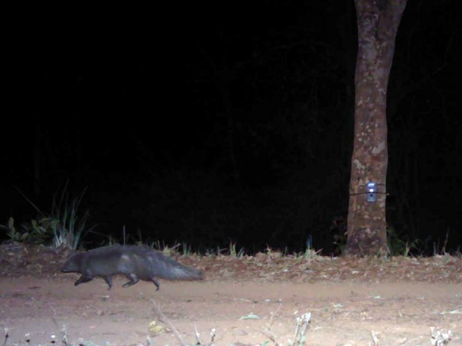 The brown mongoose—a small carnivore species was spotted for the first time outside of their known territory—Virajpet in Kodagu district. (Img Source: Nature Conservation Foundation)