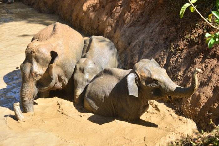 Elephants which accidentally fell into a pond in Chelavara village of Napoklu in Kodagu district on Thursday. dh photo