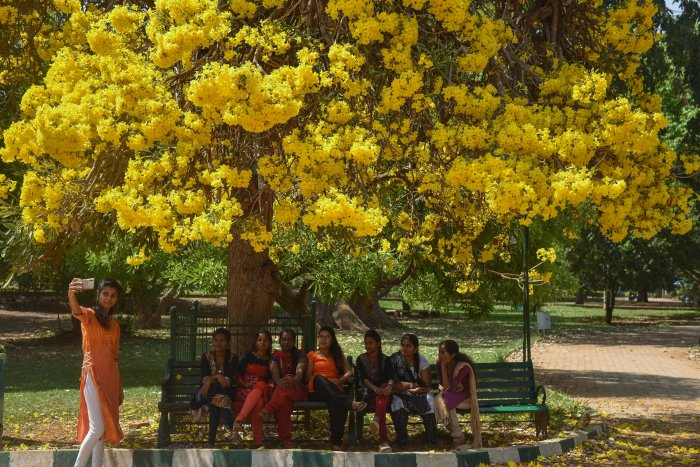 Golden Bells, commonly known as the Silver Trumpet Tree in bloom at Lalbagh. Pandit Jawaharlal Nehru, Former Prime Minister of India, planted the Golden Bells in 1956.