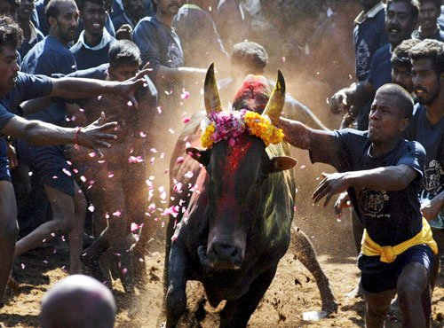 Jallikattu begins in parts of TN amid continuing protests