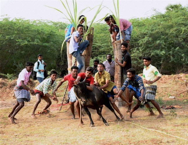 47 injured in jallikattu in Tamil Nadu