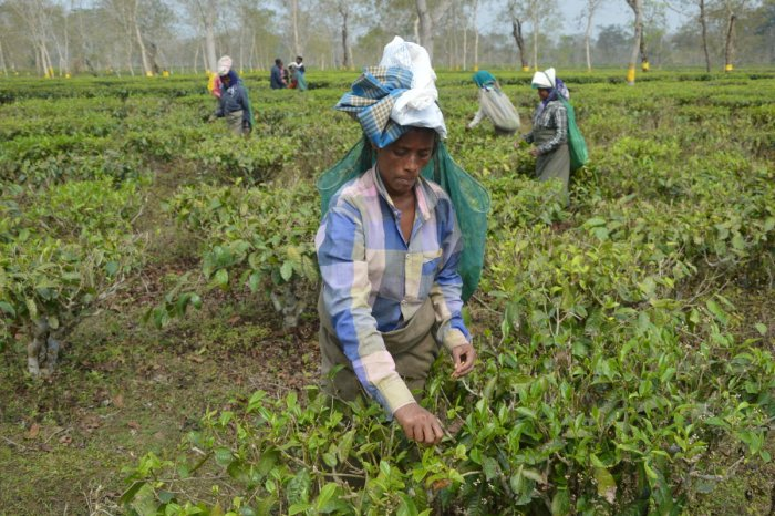 Workers in Halmira tea estate in Golaghat district in eastern Assam on February 7.