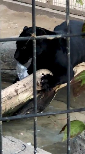 The zoo promised that nothing would befall the jaguar following concerns of it being put down.