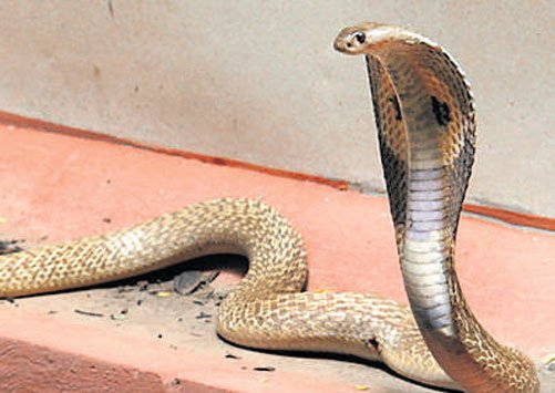 Snakes crawling into homes to beat heat in Bengaluru