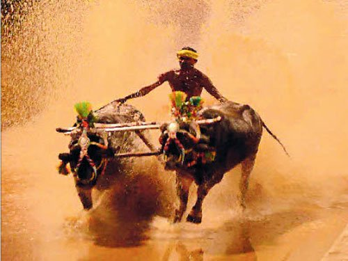 Siddaramaiah for buffalo race, seeks Centre's favourable stand