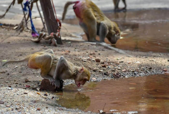 New Delhi: Monkeys quench their thirst during a spell of a heat wave in a village, on the outskirts of New Delhi. PTI Photo