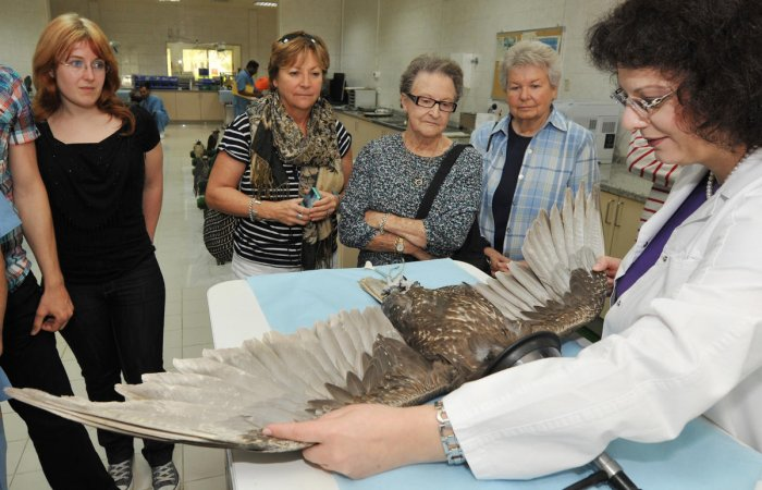 PRYING EYES Falcons being treated at the hospital. Photos by author