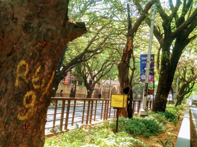 Passing through Cubbon Park, the North-South elevated corridor, reportedly a double-decker, threatens to wipe out the rich green canopy along the stretch. (DH Photo)