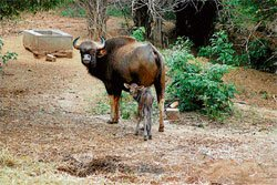 BBP partners with Mysore zoo to boost gaur numbers