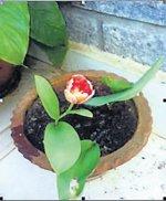 Floriculturist grows rare Tulips in Mysore
