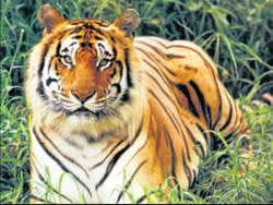 Mysore Zoo's success in implanting transponder on tigers