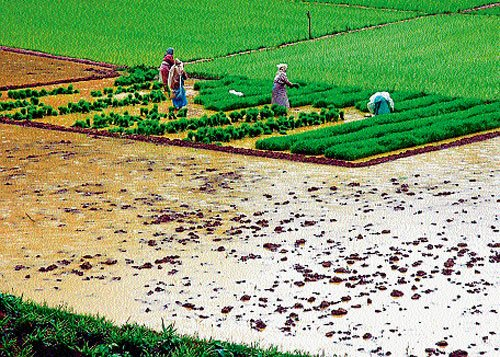 Sowing complete in 50 per cent fields in Mysore district