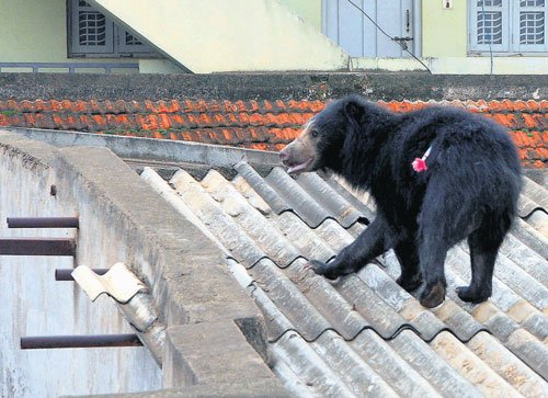Bear attacks two in Tumkur, captured