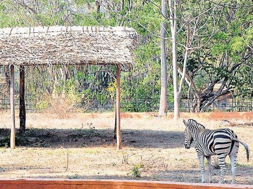 Mysore Zoo to get 4 zebras