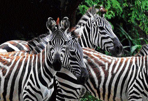 Zebras from Israel add charm to Mysore's famed zoo