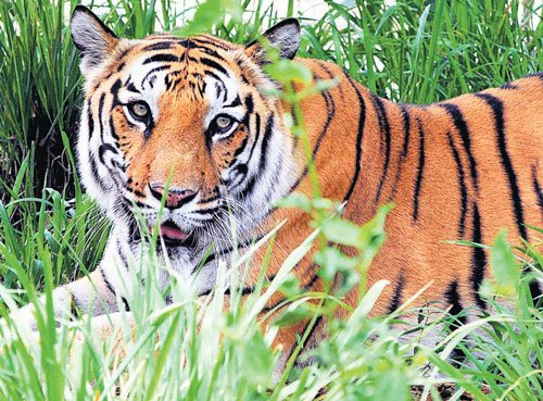 Tiger kills man in Belagavi