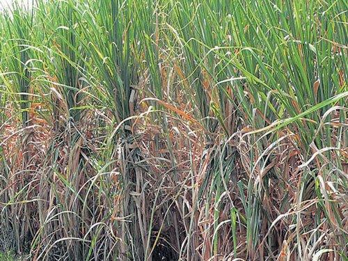 Sugar cane growers plan  to meet Modi in Mysuru