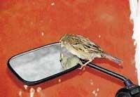 Mysore zoo to breed sparrow in captivity