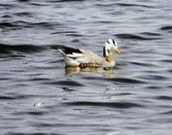 Rare goose near Mysore excites bird lovers