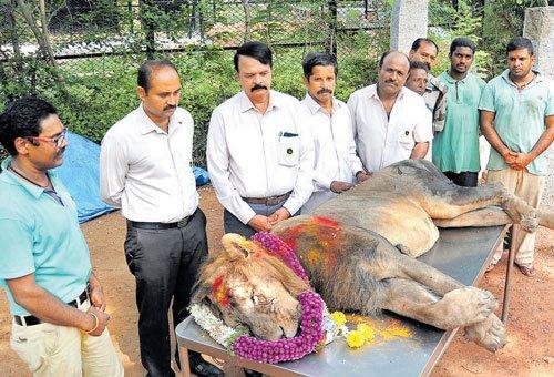 Lion dies of illness  in Mysuru zoo