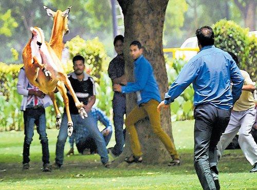 Nilgai runs amok near Parliament House