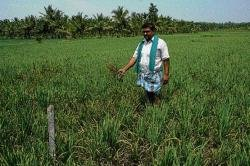 Fungal pest scythes paddy in Shimoga