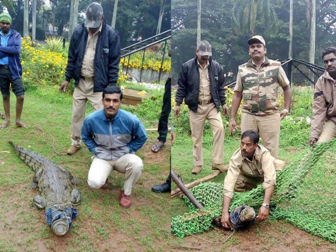 Heavy rains in Mysuru, crocodile strays into Kuppanna Gardens