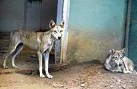 Indian wolves arrive at Mysore Zoo