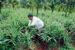 Farmers of Chikmagalur bid adieu to sunflower crop