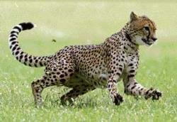 Mysore zoo to have two cheetah pairs
