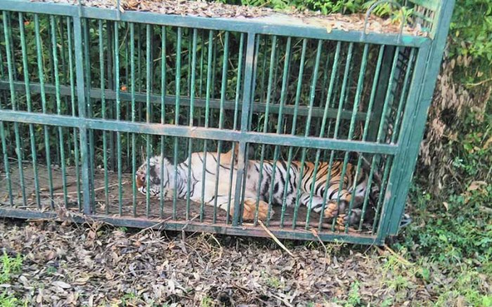 The forest department had placed the cage following complaints from the villagers.