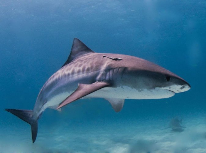 Seventeen of 58 species evaluated were classified as facing extinction, the Shark Specialist Group of the International Union for the Conservation said late Thursday. File photo