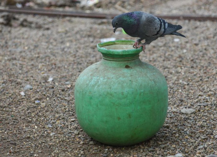 Water is pecious... Save Water... A piegon try to find a drop of water from a dry plastic pot to quench his thirst as the world is celebrating world water day at Station Bazaar in Kalaburagi on Wednesday. - Photo/ Prashanth HG
