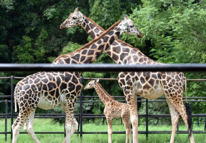 Mysuru Zoo to welcome one more giraffe to its family | Deccan Herald