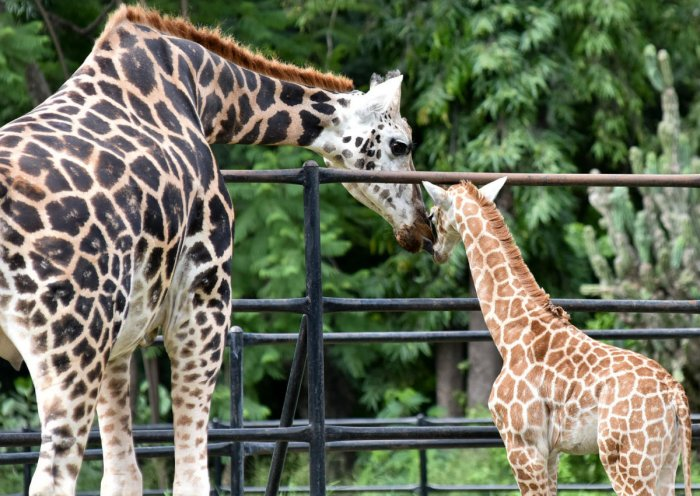 Giraffe Khushi seen with her newborn Trishika in Mysuru Zoo on Thursday. dh PHOTO