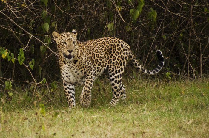 Leopard was reportedly sighted by locals at farm fields. File photo