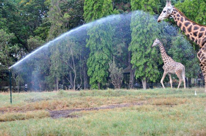 Water being sprayed through spinkler system at giraffe enclosure, at Mysuru zoo, in Mysuru. Dh file photo