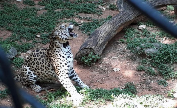 While Raja killed the snake by biting it, the jaguar died of snake venom.