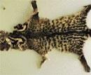 Elusive Malabar civet