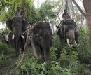 Rogue jumbos sent to Bandipur forest