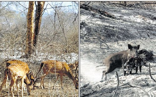 Forest dept's 'apathy' left Bandipur vulnerable to fire