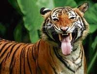Tiger protection force for Bandipur