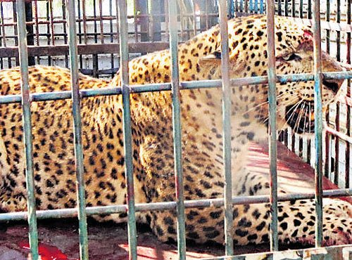 Leopard captured in Haveri village; two others roam free